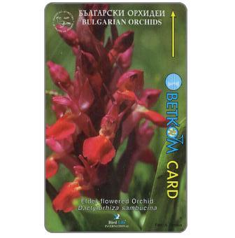 Betkom - Elder-flowered Orchid, 57BULA, 10 units