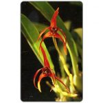The Phonecard Shop: Orchid Maxillaria nigrescens, Bs.2000